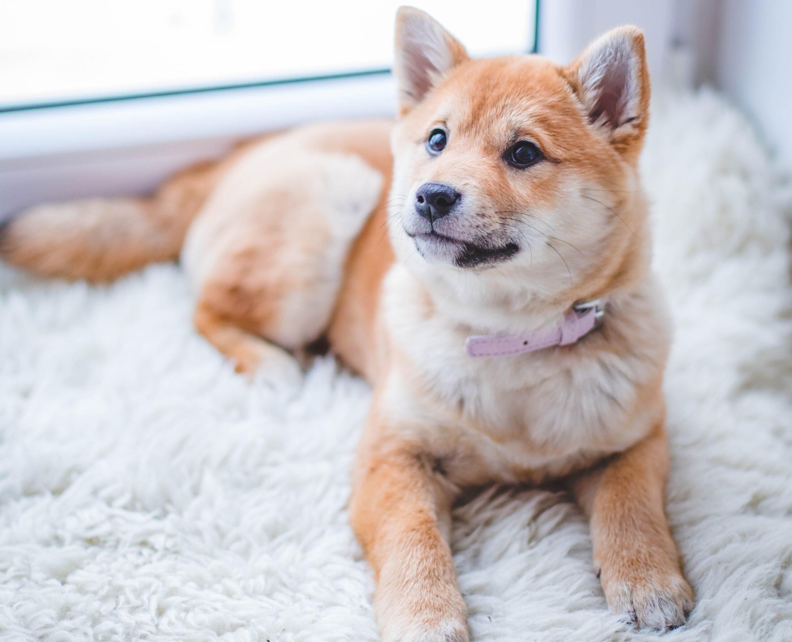 szőnyegtisztítás, kutya a szőnyegen